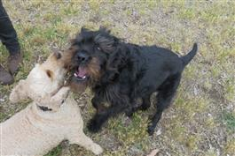 Dali and archie dogs having social play Melbourne innerest