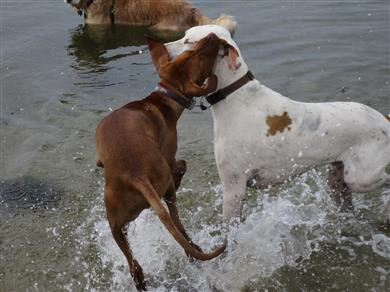 social dogs playing in water