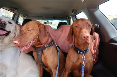 vizsla-dog-walk-socialisation