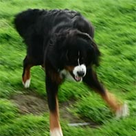 amy bernese mountain dog