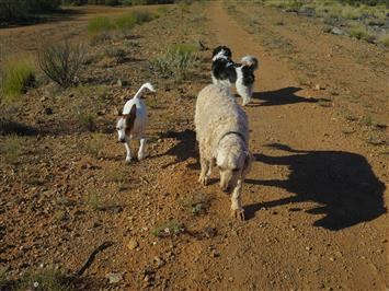 dog walking in broken hill
