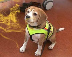 beagle sniffs deadly bacteria